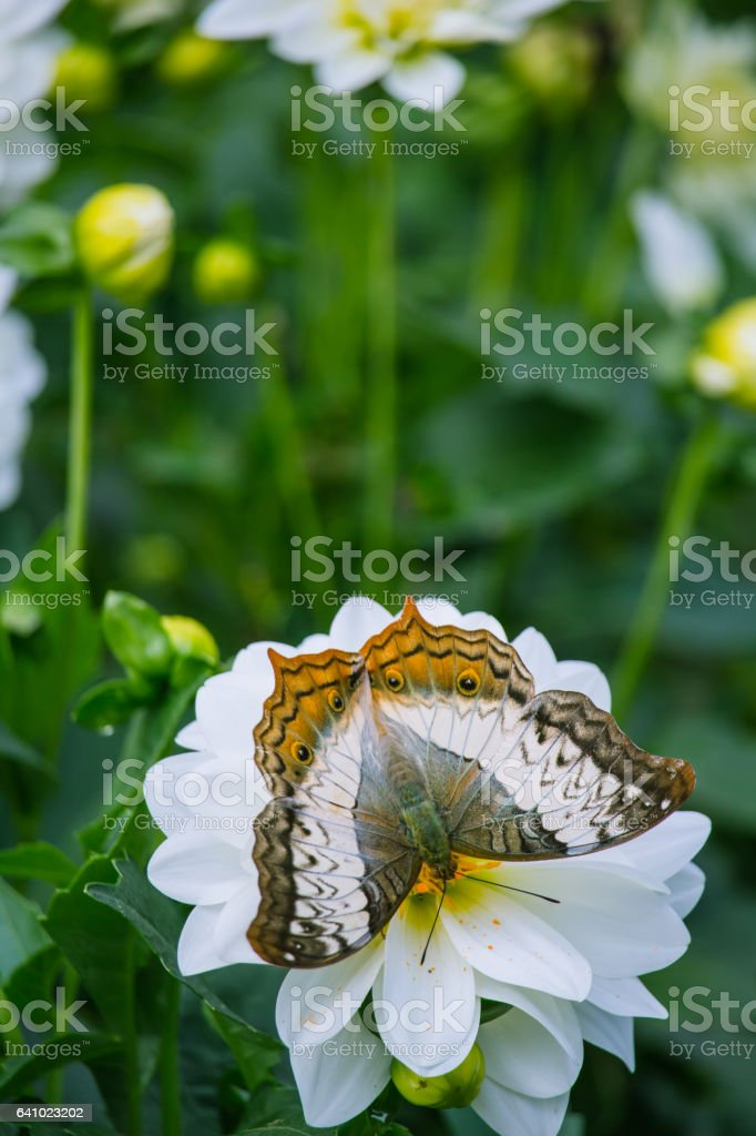 chrysanthemum and butterfly stock photo
