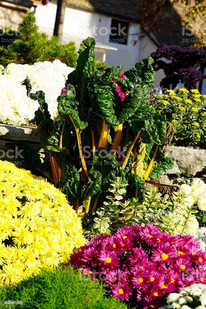 chrysanthemum and mangold stock photo