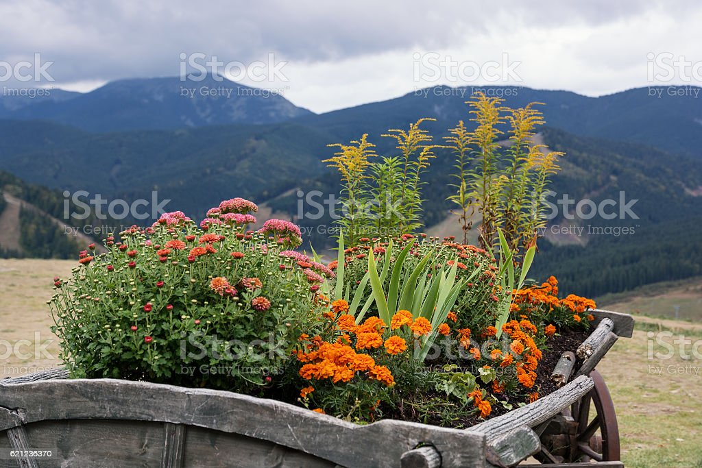 Chrysanthemum and marigold. Flower bed in the cart. stock photo