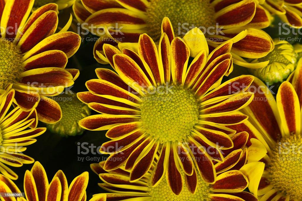 Chrysanthemum background royalty-free stock photo