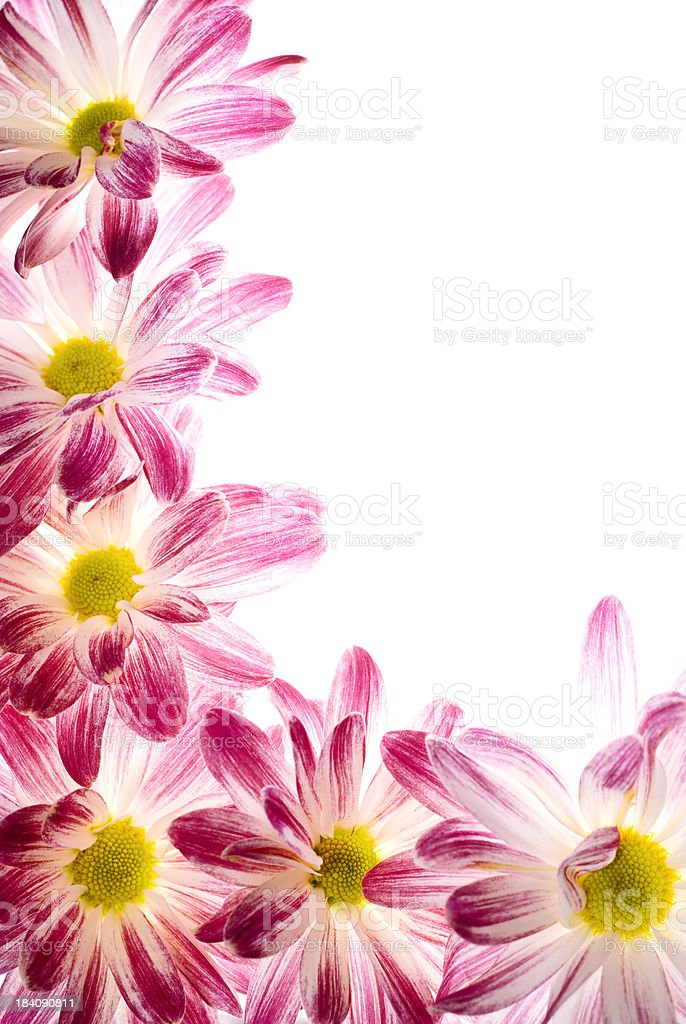 Chrysanthemum border royalty-free stock photo