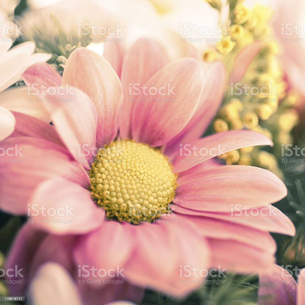 Chrysanthemum bouquet close-up royalty-free stock photo