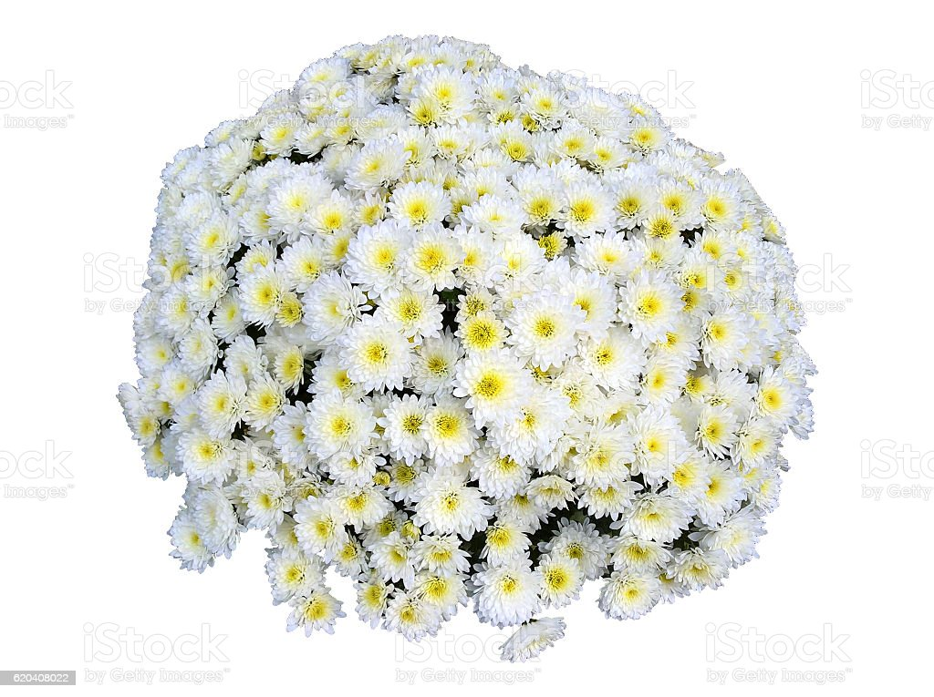 Chrysanthemum Bouquet Isolated stock photo