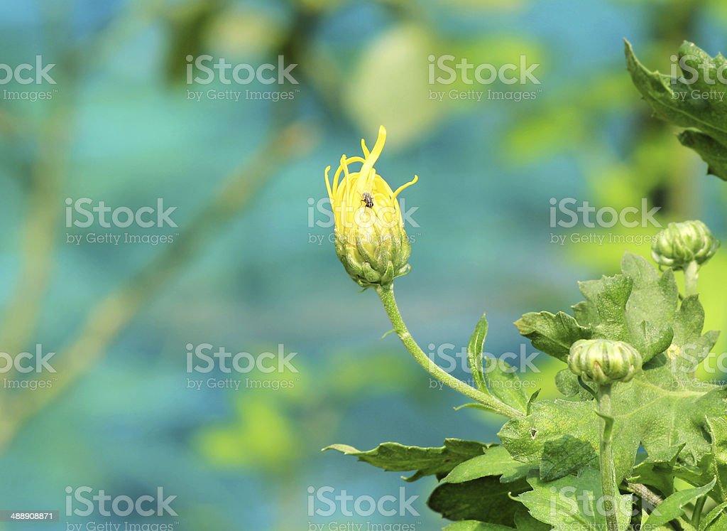Chrysanthème bud photo libre de droits