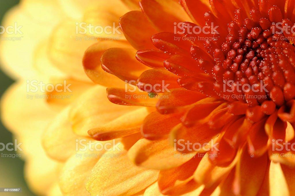 Chrysanthemum closeup with green bug royalty-free stock photo