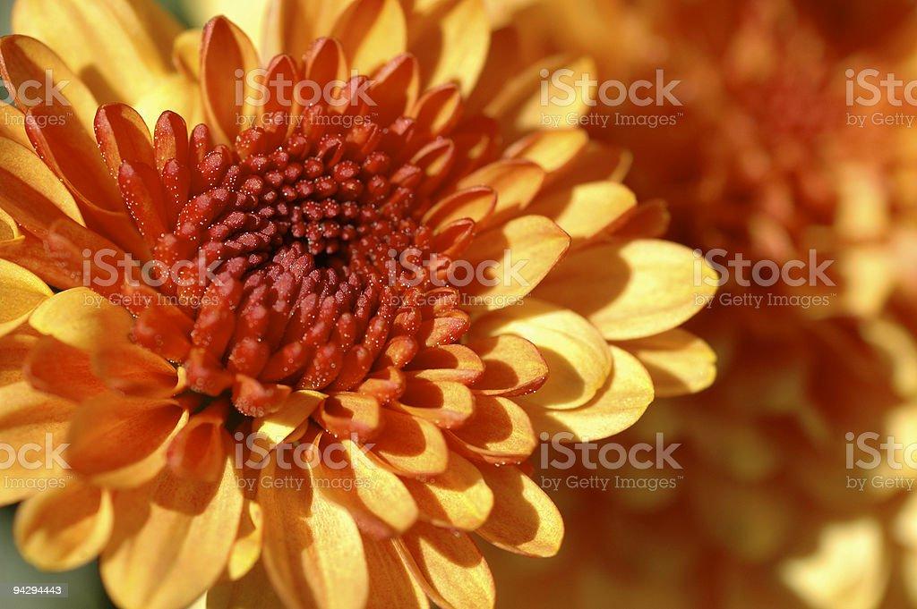 Chrysanthemum closeup with selective focus stock photo