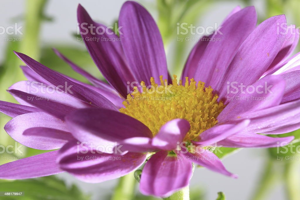Chrysanthemum Coronarium Purple Flower stock photo
