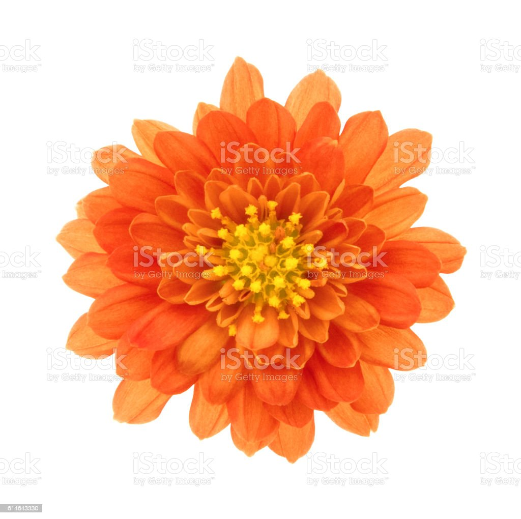 Chrysanthemum. Deep Focus. stock photo