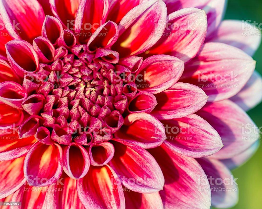 Chrysanthemum flower close-up stock photo