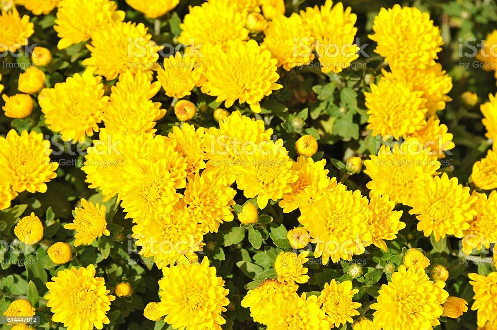 Chrysanthemum flower, DOF stock photo