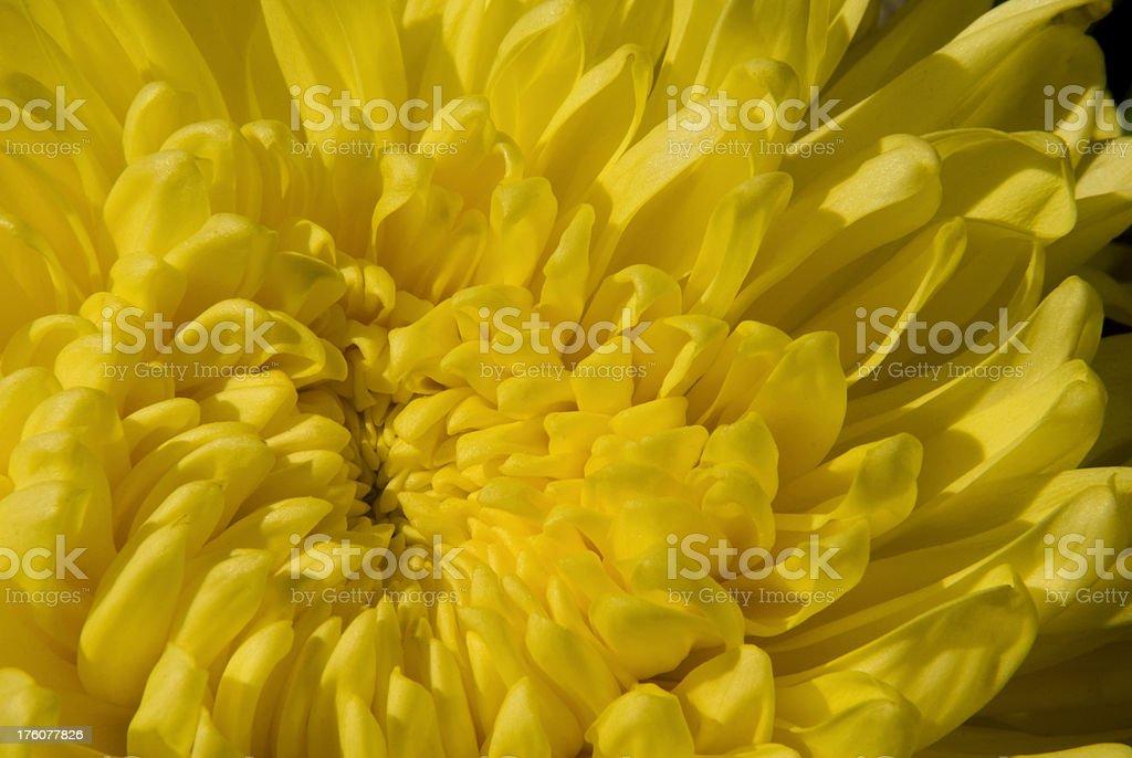 Chrysanthemum flower in macro stock photo