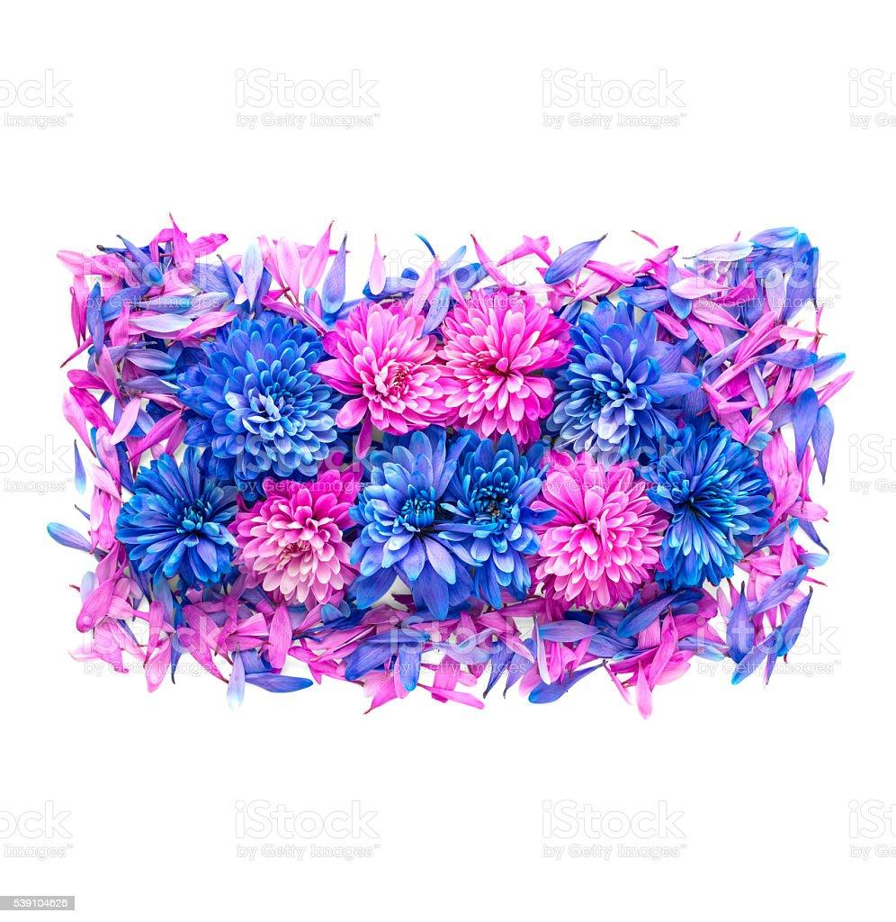 Chrysanthemum flower on white background stock photo