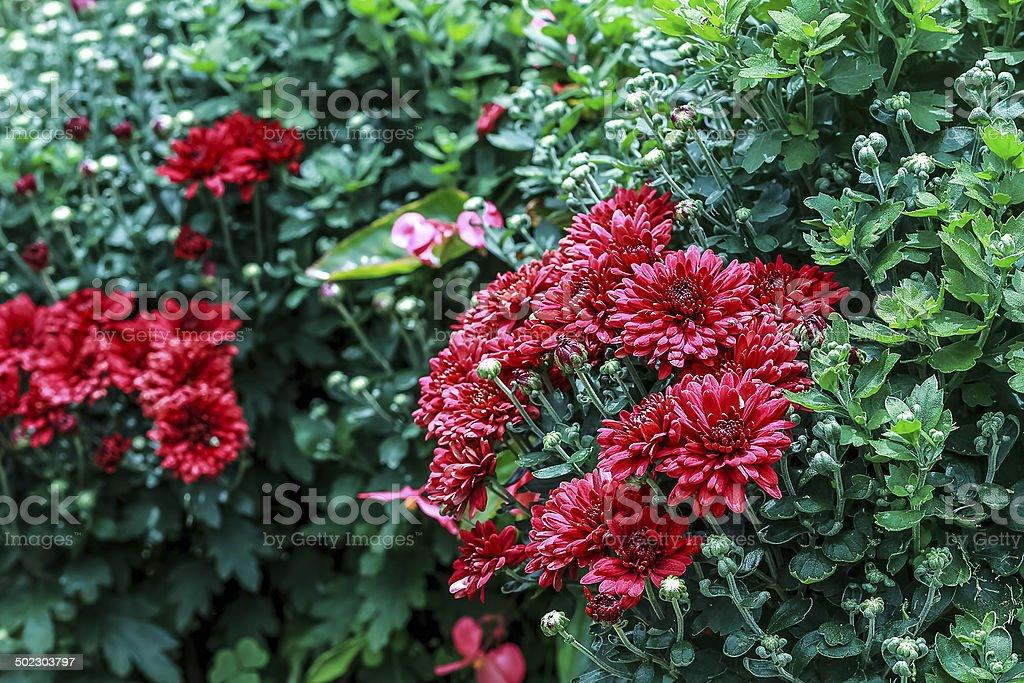 Chrysanthemum Flower royalty-free stock photo