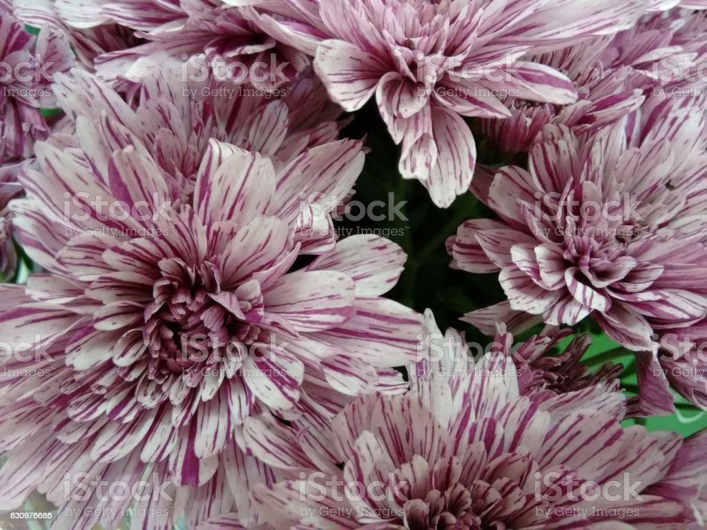 Chrysanthemum flower - Pink and white stock photo