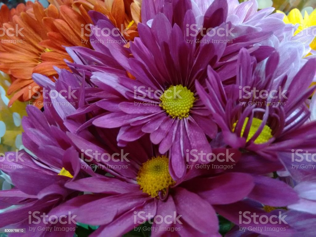 Chrysanthemum flower - Purple stock photo