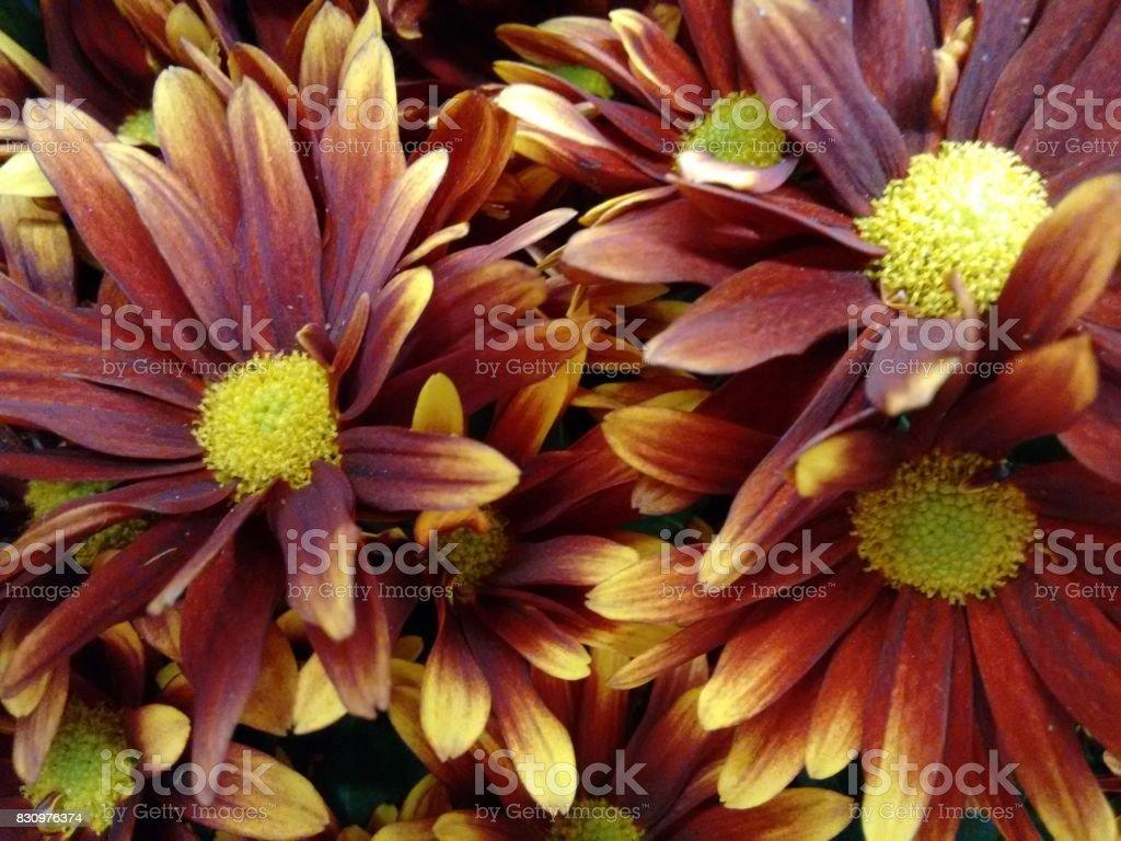 Chrysanthemum flower - Red and yellow stock photo
