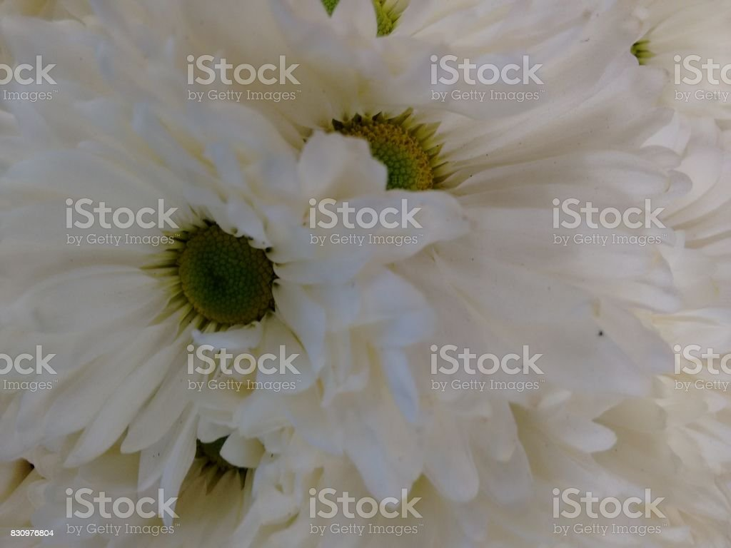 Chrysanthemum flower - White stock photo