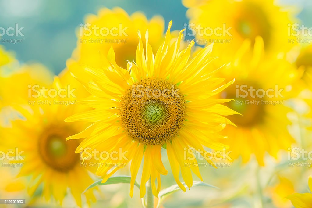 Chrysanthemum flower with water drop and sunlight background stock photo