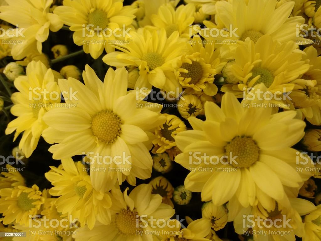 Chrysanthemum flower - Yellow stock photo