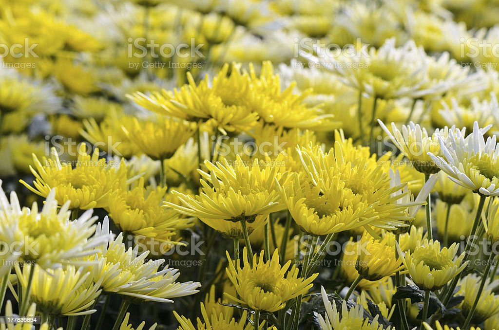 Chrysanthemum Flowers Farms. royalty-free stock photo