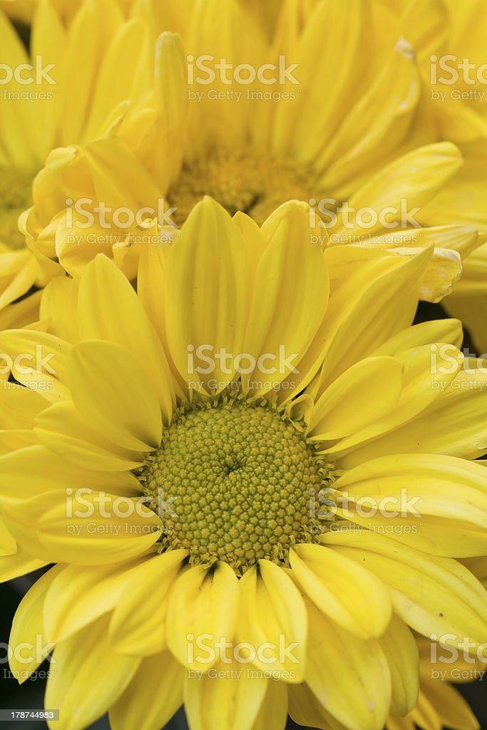 Chrysanthemum Flowers in garden royalty-free stock photo