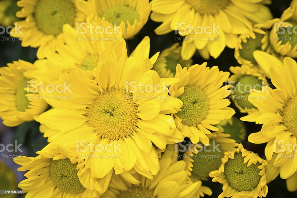 Chrysanthemum Flowers royalty-free stock photo