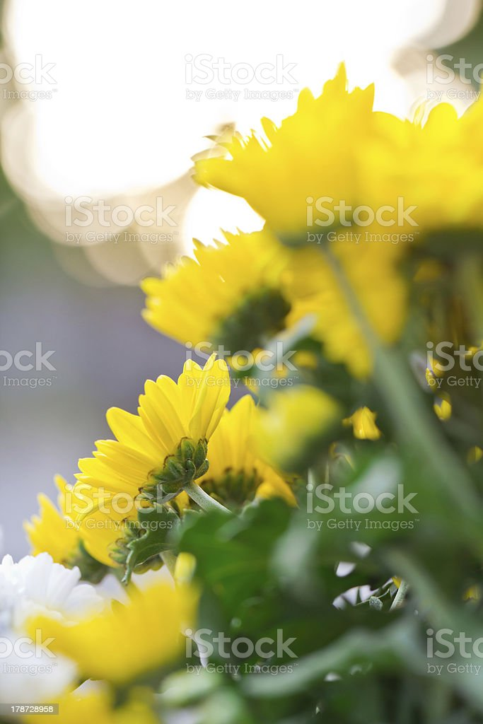 Chrysanthemum Flowers royalty-free stock photo