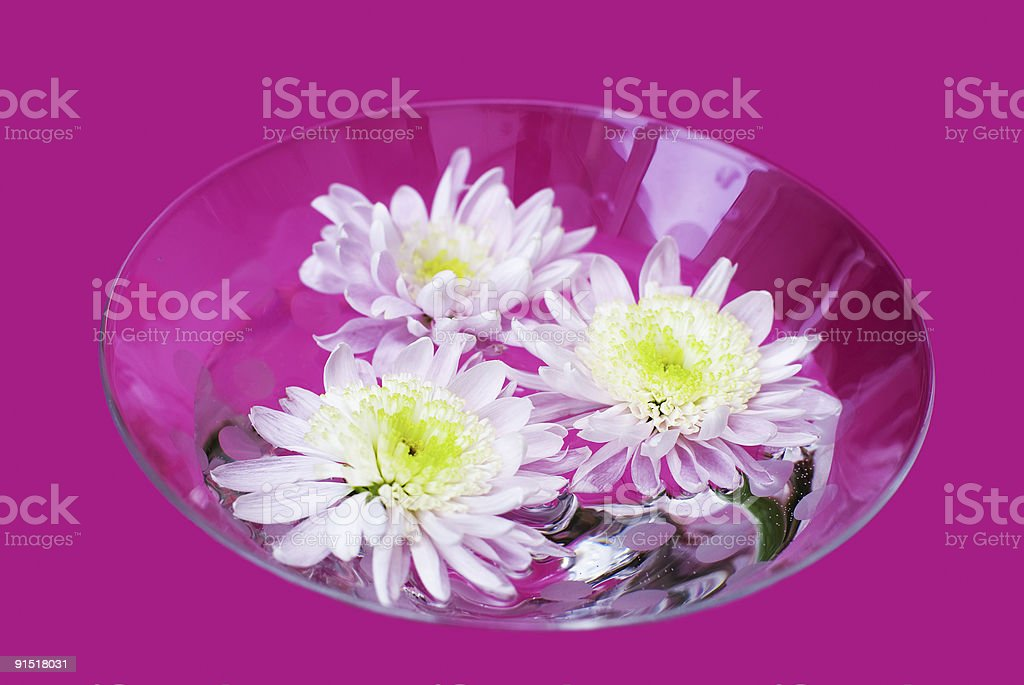 Chrysanthemum flowers stock photo