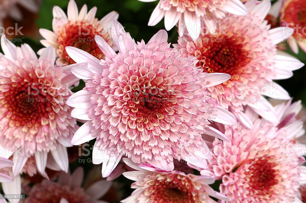 Chrysanthemum flowers pink flower group stock photo