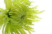 Chrysanthemum green colour