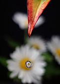 Chrysanthemum in a polka dot
