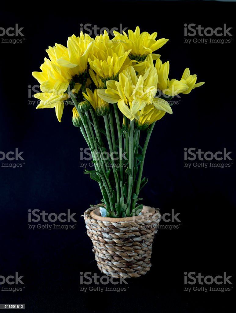 chrysanthemum in vase with hand made on black background stock photo