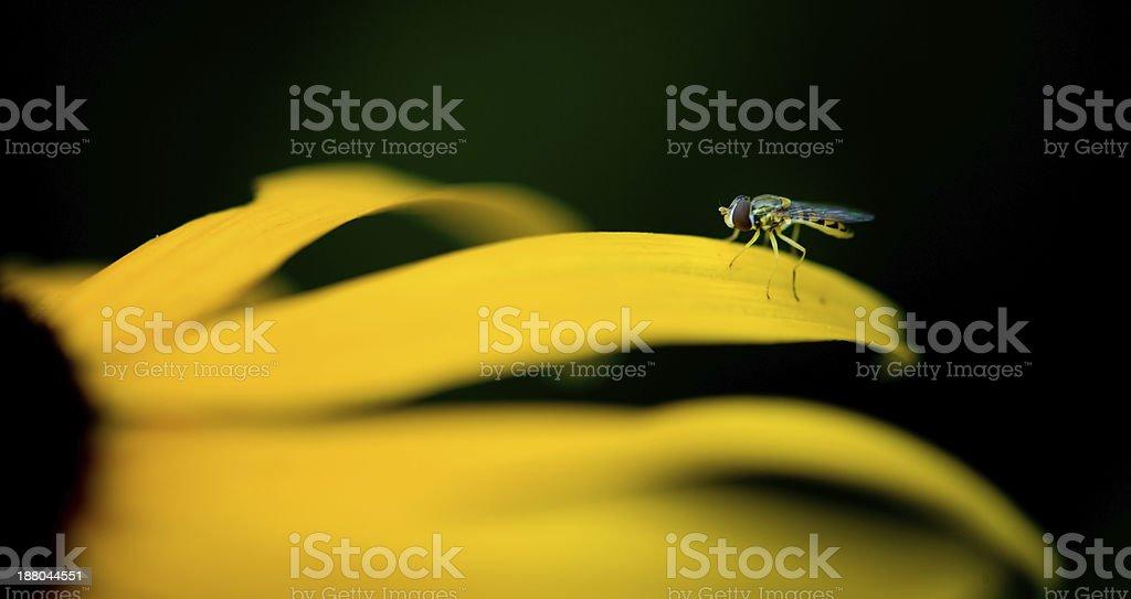 Chrysanthemum indicum royalty-free stock photo