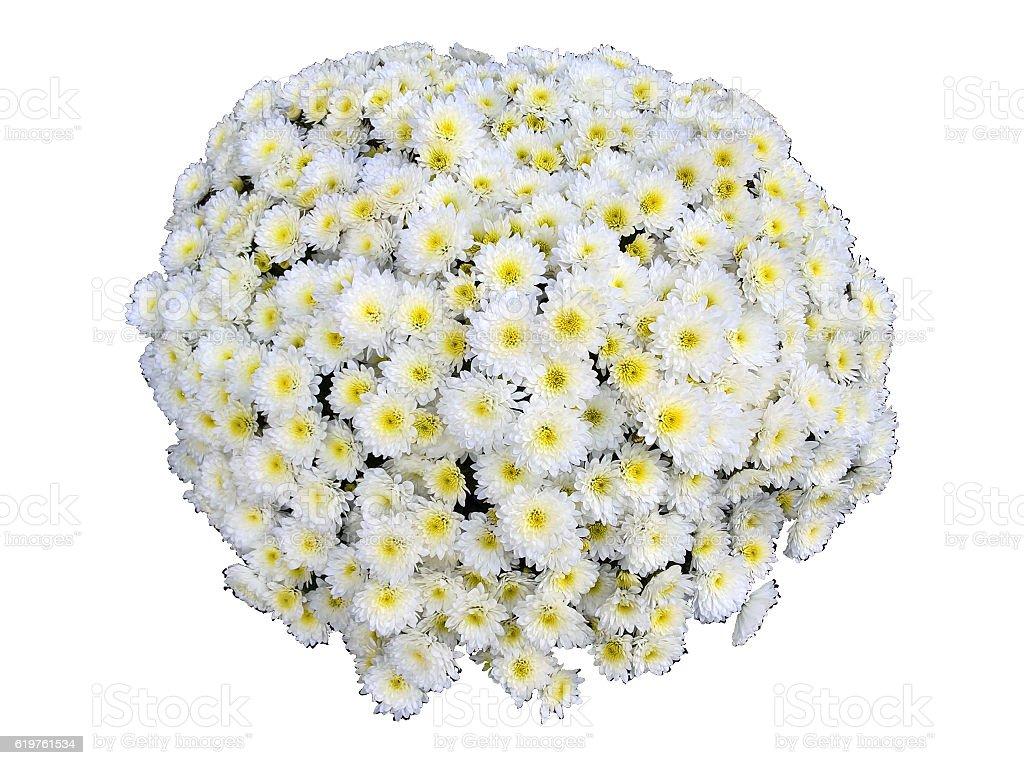 Chrysanthemum (Mum Flower) Isolated stock photo