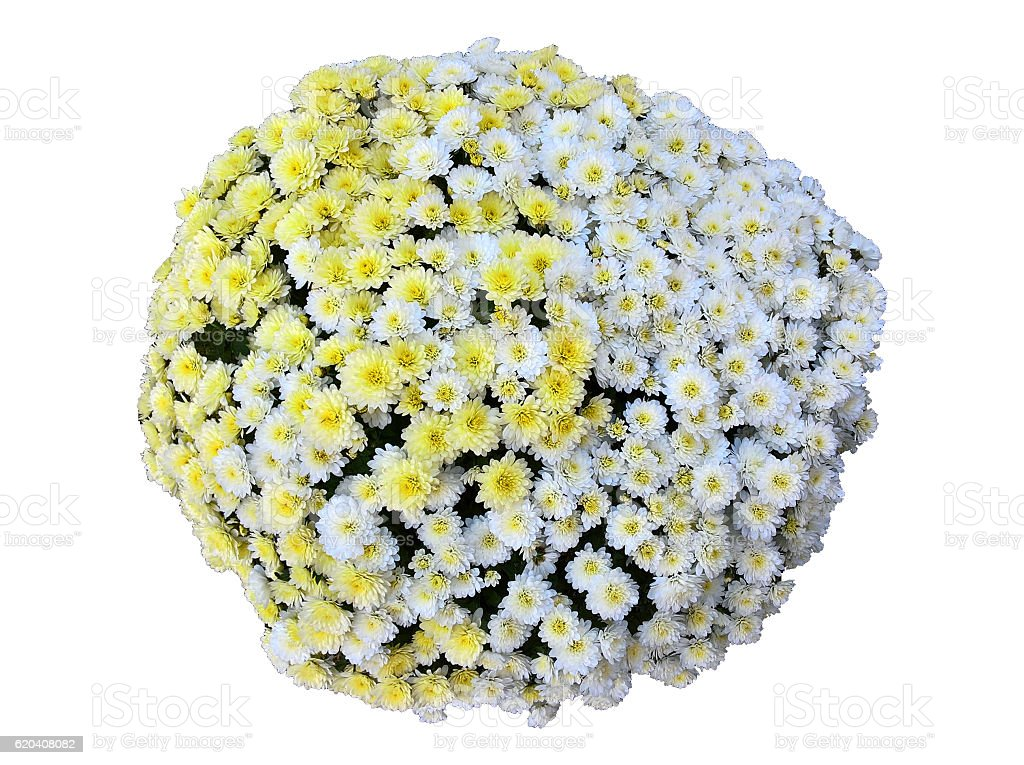 Chrysanthemum Mixed Bouquet Isolated stock photo