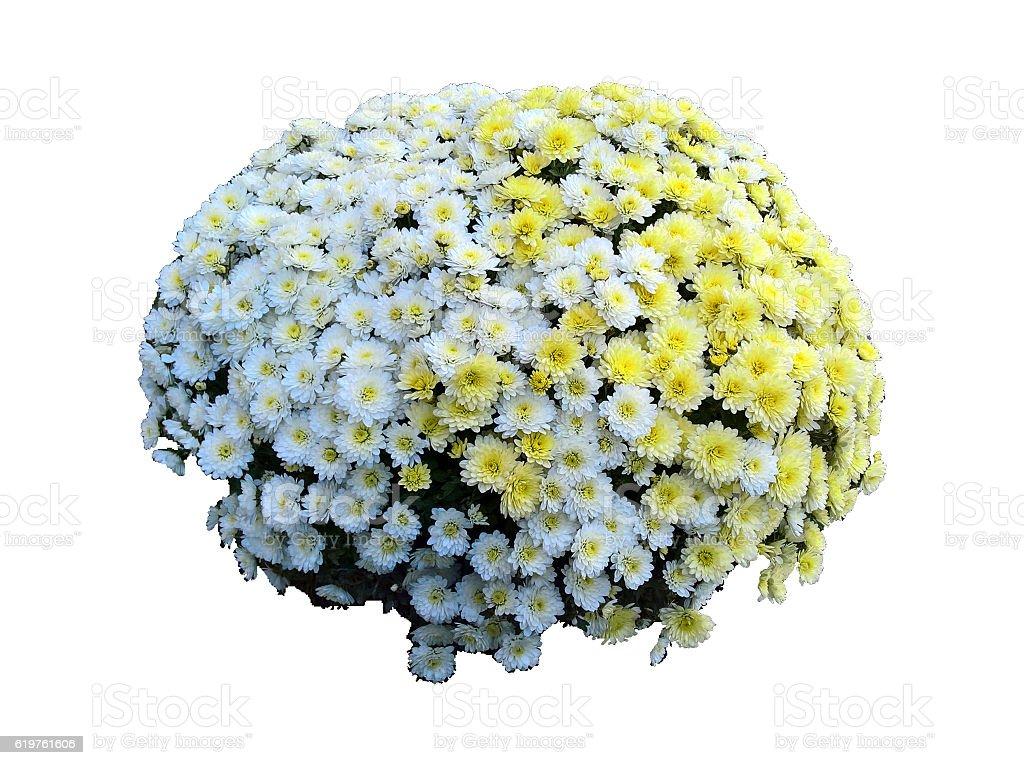 Chrysanthemum Mixed Isolated stock photo