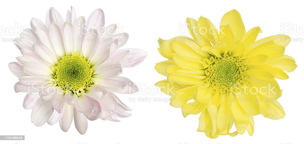 Chrysanthemum on a white background royalty-free stock photo