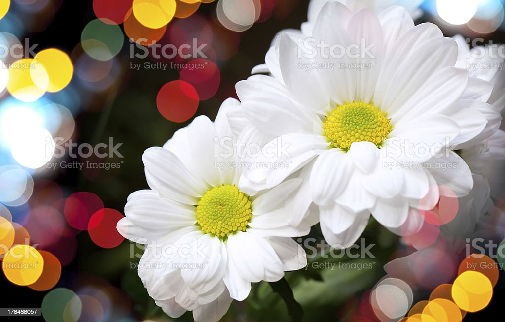 Chrysanthemum on dark background with colorful blurred lights bokeh royalty-free stock photo
