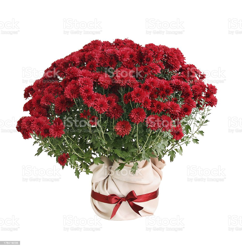 Chrysanthemum Paulo red royalty-free stock photo
