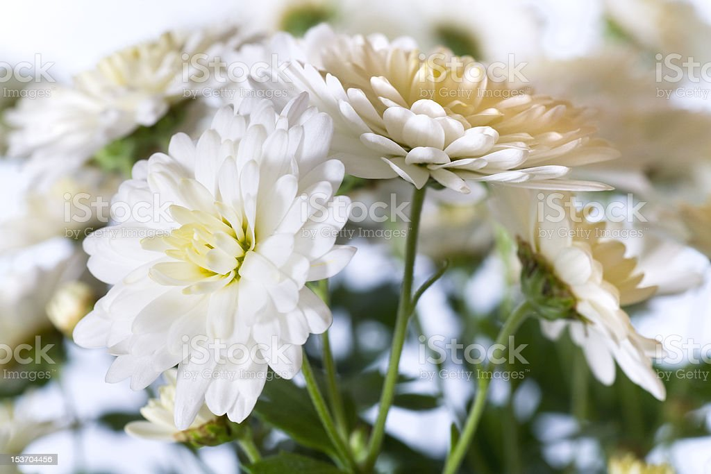 chrysanthemum royalty-free stock photo
