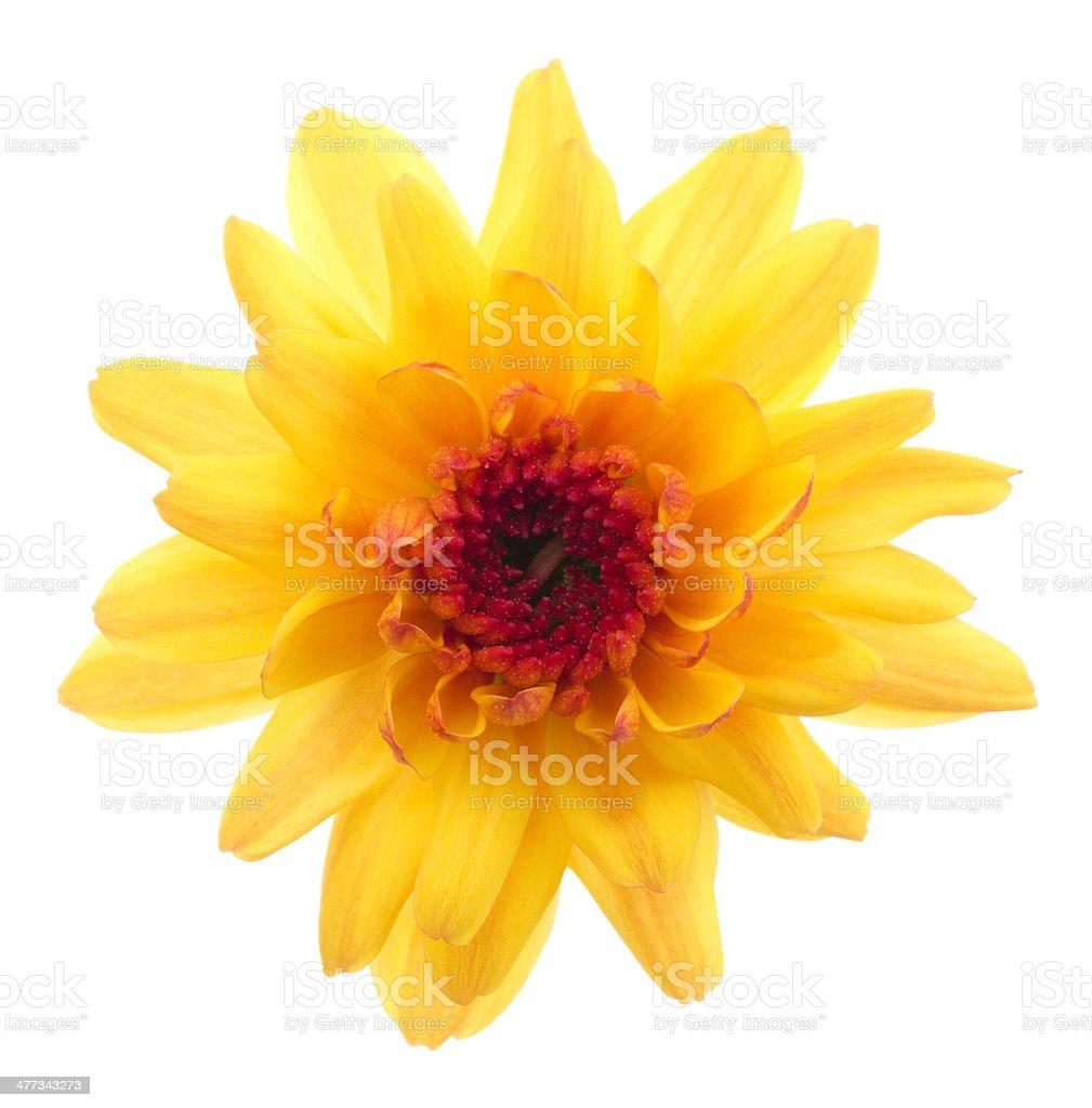 Chrysanthemum. stock photo
