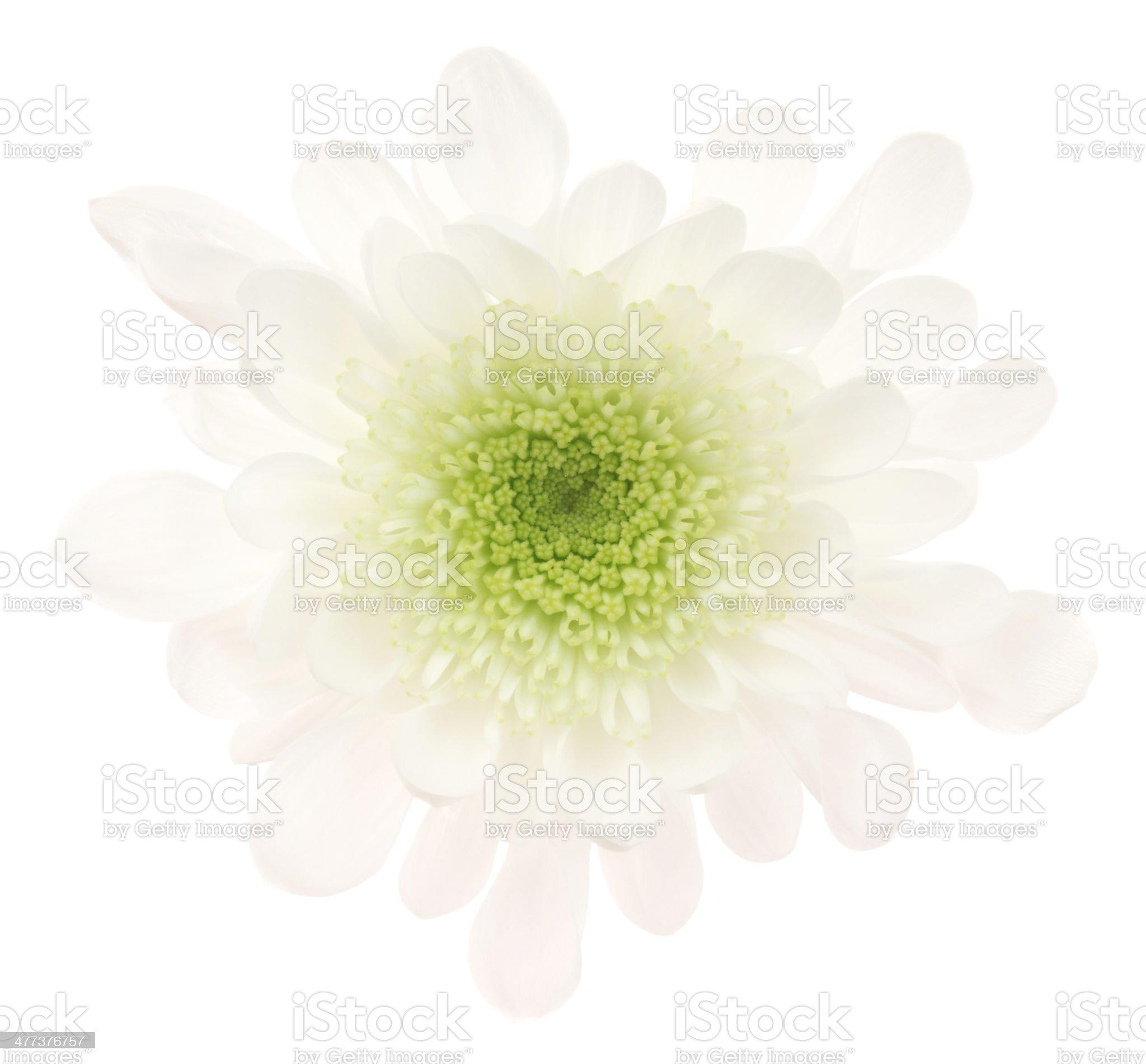 Chrysanthemum. royalty-free stock photo