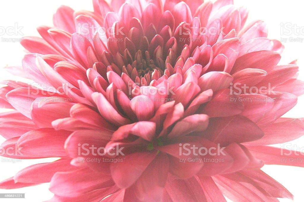 Chrysantheme Lizenzfreies stock-foto