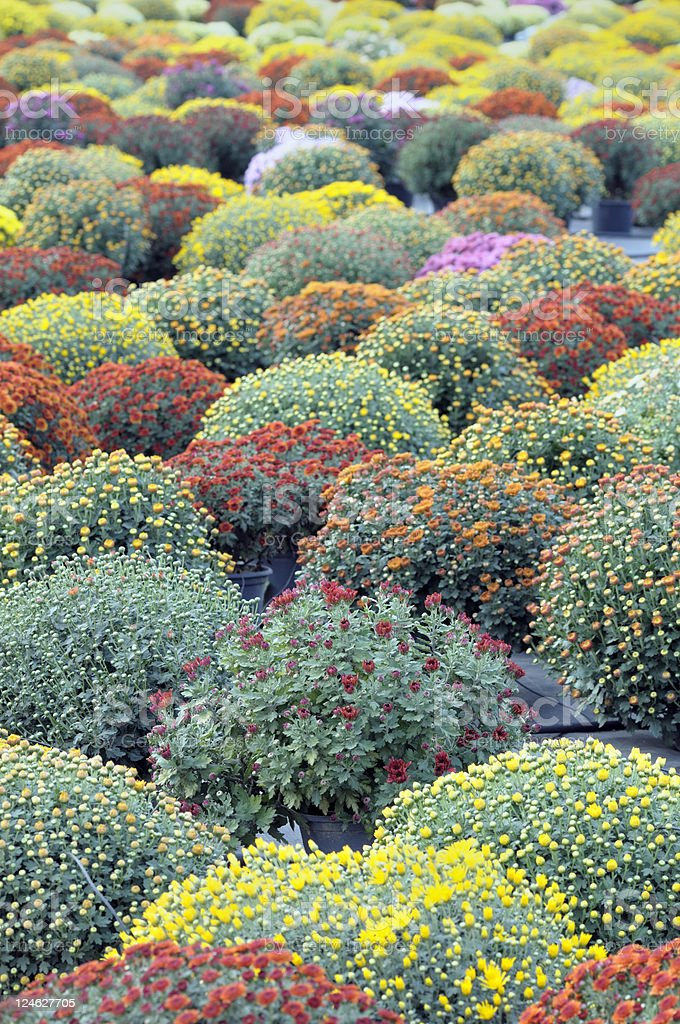 Chrysanthemum pots stock photo