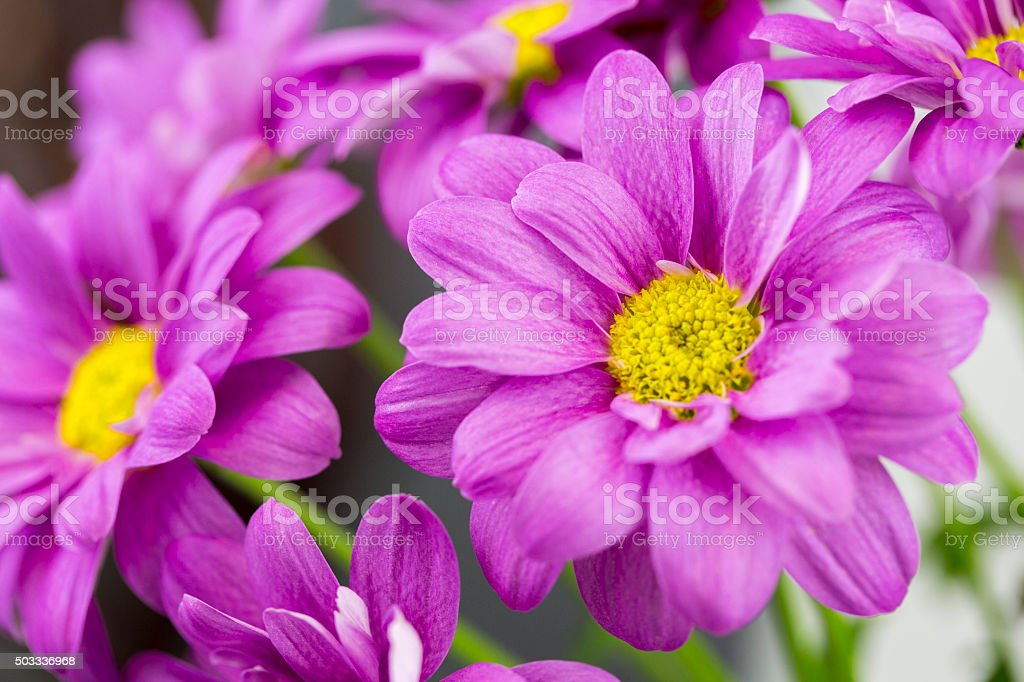 Chrysanthemum purple stock photo