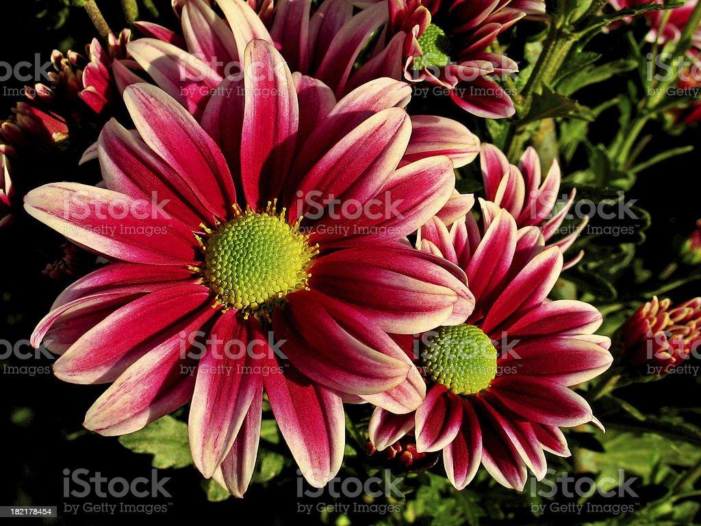 Chrysanthemum Series. Garnet royalty-free stock photo
