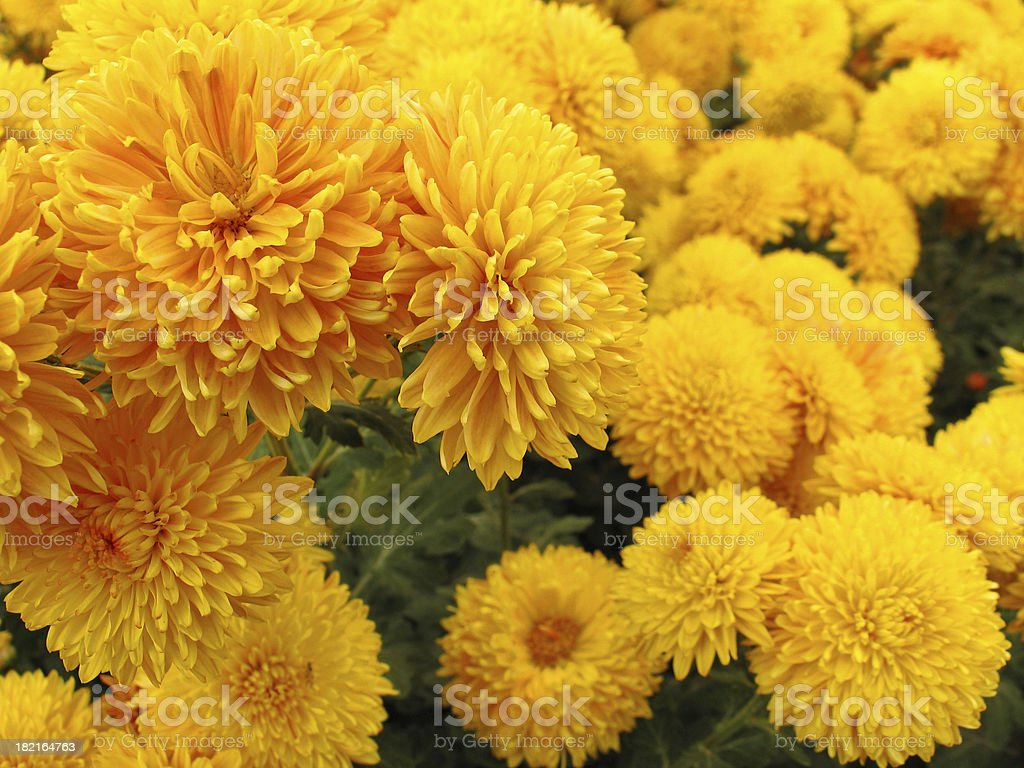 Chrysanthemum Series. Golden royalty-free stock photo