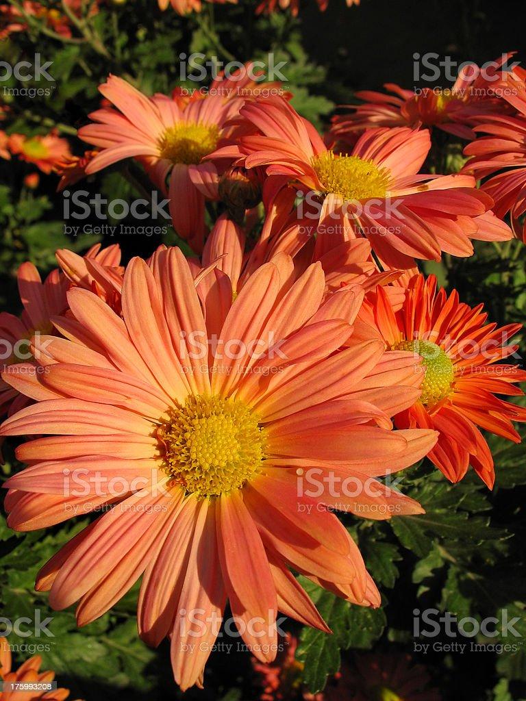 Chrysanthemum Series. Orange royalty-free stock photo