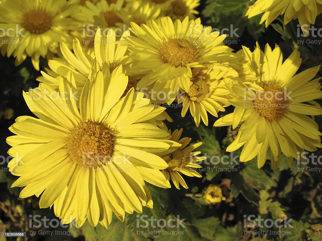 Chrysanthemum Series. Yellow royalty-free stock photo