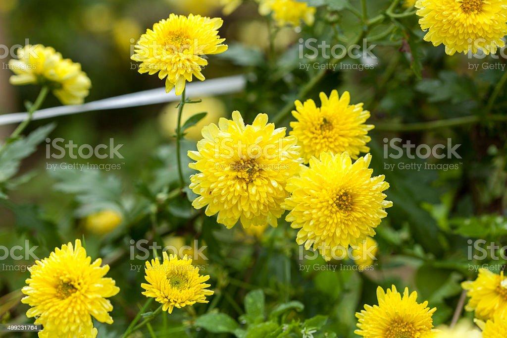 Chrysanthemum tea, Huan stock photo